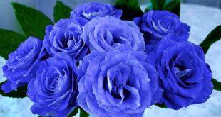blaue Rosen